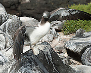 A Nazca Booby (Sula granti) fledges on Española (Hood) Island, the oldest of the Galapagos Islands, which are a province of Ecuador, South America. The Nazca Booby is found in the eastern Pacific Ocean, namely on the Galápagos Islands and Clipperton Island. The Revillagigedo Islands off Baja California possibly constitute its northeasternmost limit of breeding range. It was formerly regarded as a subspecies of the Masked Booby but the Nazca Booby is now recognized as a separate species differing in ecology, morphology, and DNA. The Nazca Booby co-occurs with the Masked Booby on Clipperton Island, where they may rarely hybridize.  Two eggs are laid so that one remains insurance in case the other gets destroyed or eaten, or the chick dies soon after hatching, which often occurs as one chick out-competes the other.