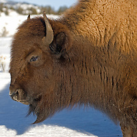An American Bison (Bison bison) cow walks along a snowy road in Yellowstone National Park.