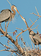 A Great Blue Heron (Ardea herodias)male, left, hands off some nesting material to its mate, Westminster, Colorado.
