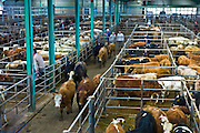 Cattle crammed tightly together in a pen at cattle auction in Ennis, County Clare, West of Ireland