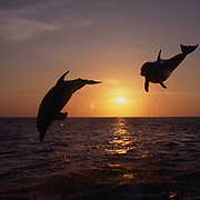Bottlenose Dolphin (Tursiops truncatus) Jumping in the Gulf of Mexico at sunset,  Honduras. Controlled Conditons.