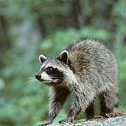 Raccoon, (Procyon lotor) Displaying threat mode. Summer.   Captive Animal.