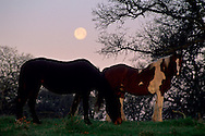 Full moon setting over horses and oak trees in the foothills near Plymouth, Amador County, California