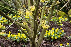 Eranthis hyemalis AGM growing under witch hazel - Hamamelis × intermedia 'Arnold Promise'