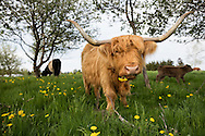 Highland cow eating a dandelion in a spring silvopasture pasture