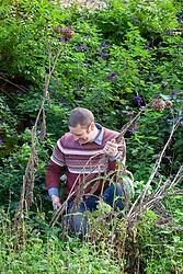 Tidying borders by cutting down cardoon seedheads - Cynara cardunculus