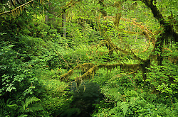 Jackson Creek in the Hoh Rainforest's Hall of Mosses, Olympic National Park, Washington, US
