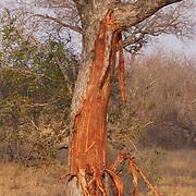 Tree damaged from elephants, Londolozi Game Reserve, South Africa.