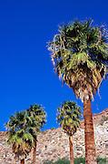 California fan palms under blue sky at Mountain Palm Springs, Tierra Blanca Mountains, Anza-Borrego Desert State Park, California