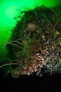 deep-sea coral (Desmophyllum dianthus) - Comau Fjord, Patagonien,  Chile