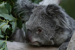 September 6, 2017 - Madrid, Madrid, Spain - Mayra, a 7 years-old female of Koala pictured resting in her enclosure at Madrid zoo. Because the eucalyptus diet has limited nutritional and caloric content, koalas (Phascolarctos cinereus) are largely sedentary and sleep for up to 20 hours a day. (Credit Image: © Jorge Sanz/Pacific Press via ZUMA Wire)