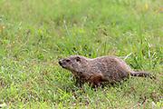 American woodchuck (Marmota monax) in habitat.