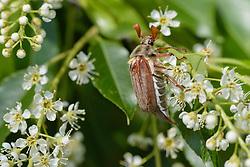 Meikever, Melolontha melolontha