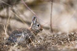 Cottontail Rabbit, Market Lake Wildlife Refuge, Roberts Idaho