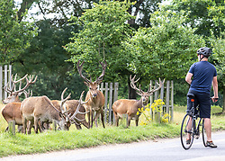 Licensed to London News Pictures. 06/08/202. London, UK. With the weather more like September a large herd of stags munch on the grass in Richmond Park, southwest London as wind and rain is set to hit the South East and London today. Yellow weather warnings for England have been issued for heavy rain, flooding, and high winds as the bad weather is expected to continue throughout the weekend. However brighter weather is forecast for next weeks with highs of 22c. Photo credit: Alex Lentati/LNP