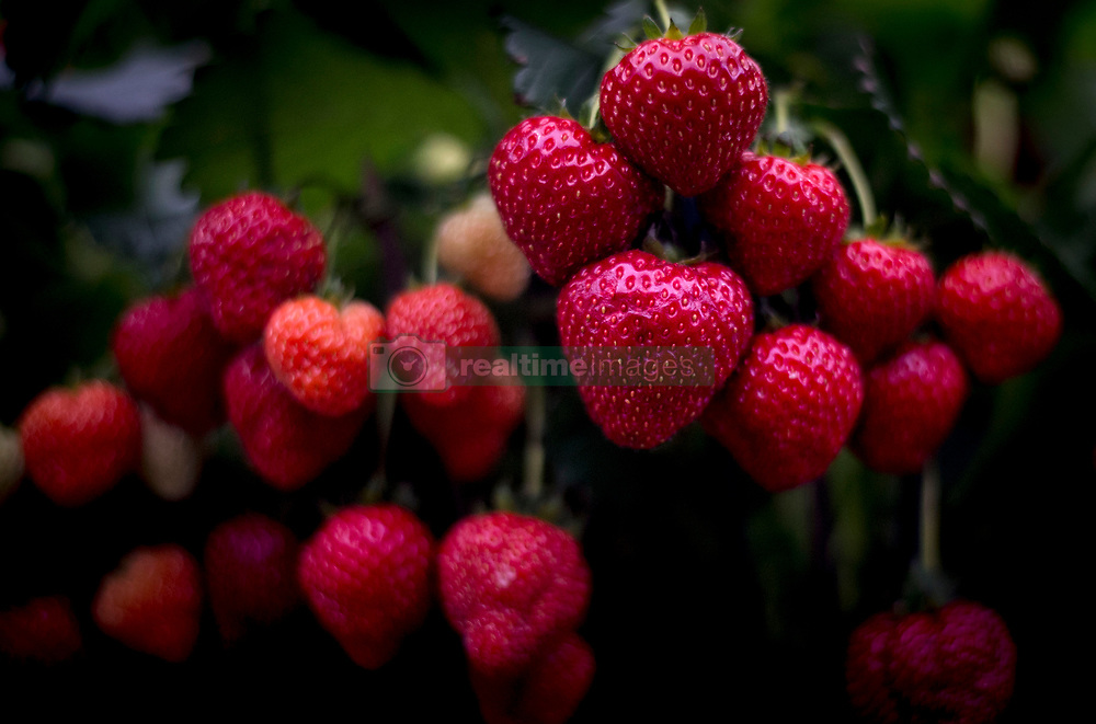 Strawberries at the RHS Chelsea Flower Show at the Royal Hospital Chelsea, London.