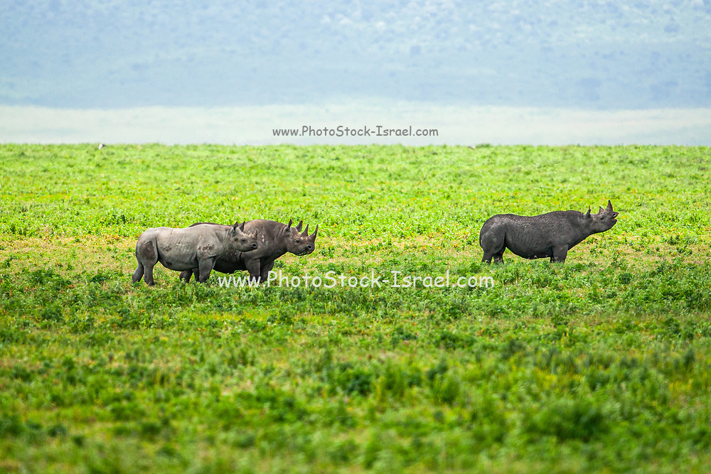 Black Rhinoceros (or hook-lipped rhinoceros Diceros bicornis) is a species of rhinoceros, native to eastern and central Africa where it feeds on vegetation. It is largely a solitary animal and can reach a height of over 1.5 metres and weigh up to 1400 kilograms. Photographed at Ngorongoro Conservation Area Tanzania