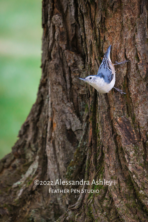 """White breasted nuthatch with upturned head and bill, looking for insects while creeping down tree trunk. The behavior of creeping down trees headfirst and raising head and neck parallel to the ground is unique to nuthatches, resulting in their nickname """"the upside-down bird."""""""