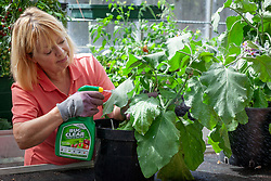 Treating whitefly on aubergines in a greenhouse by spraying with insecticide