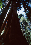 Genevieve Summers climbs the Stagg Tree, a giant redwood  and the sixth largest tree in the world by mass.