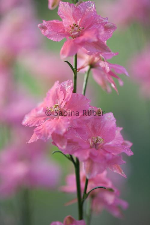 Delphinium consolida 'Salmon Beauty' - larkspur