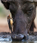 African buffalo with red-billed oxpecker drinking in Zimanga Privare Reserve, South-Africa.