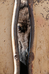 Bison peering through head gate, Ladder Ranch, west of Truth or Consequences, New Mexico, USA.