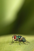 Green bottle fly Phaenicia sericata on a leaf.