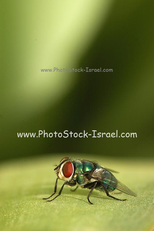Green bottle fly Phaenicia sericata on a leaf.
