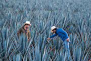 Field managers inspect a field of blue agave plants to see if they are ready for harvest at a farm owned by the Casa Siete Leguas tequila distillery outside Atotonilco de Alto, Jalisco, Mexico. The Seven Leagues tequila distillery is one of the oldest family owned distilleries and produces handcrafted tequila using traditional methods.