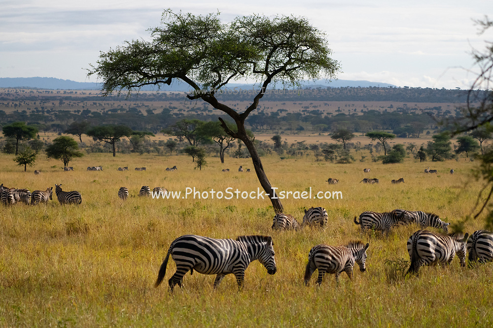 Annual migration of over one million white bearded (or brindled) wildebeest and 200,000 zebras at Serengeti National Park, Tanzania, in Spring April