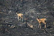 A mother deer and her baby make it up a scorched hill off Green Lake Road in Okanogan Saturday August 22, 2015 after wildfire tore through the area.<br /> <br /> Bettina Hansen / The Seattle Times