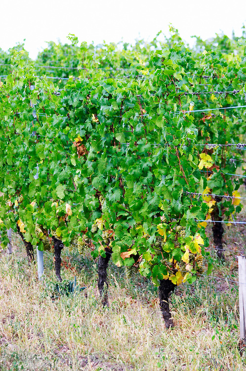 riesling vineyard brand gc turckheim alsace france