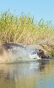 Hippopotamus entering lower Zambezi River in Mana Pools National Park, Zambia