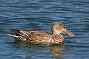 Northern Shoveler Duck female.(Anas clypeata).Bolsa Chica Wetlands,California