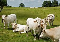 French Ardennes: cows. COPYRIGHT KOEN SUYK