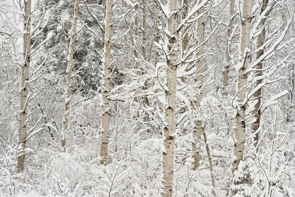 Late autumn snowfall in a woodland with birch and aspen trees, Greater Sudbury, Ontario, Canada