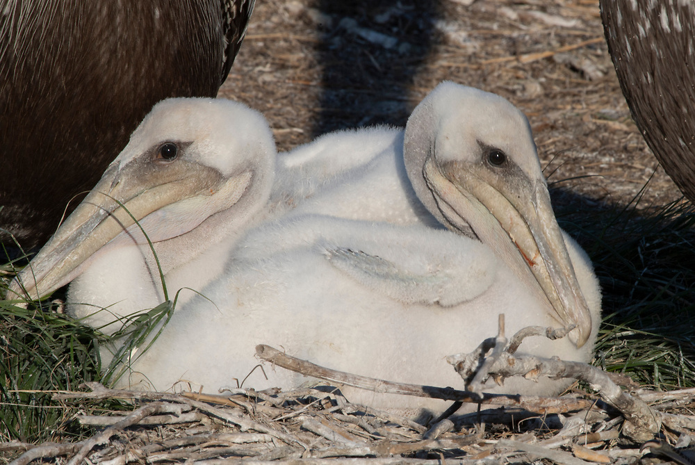 Two Pelican chicks huddled in mirrored position on ground