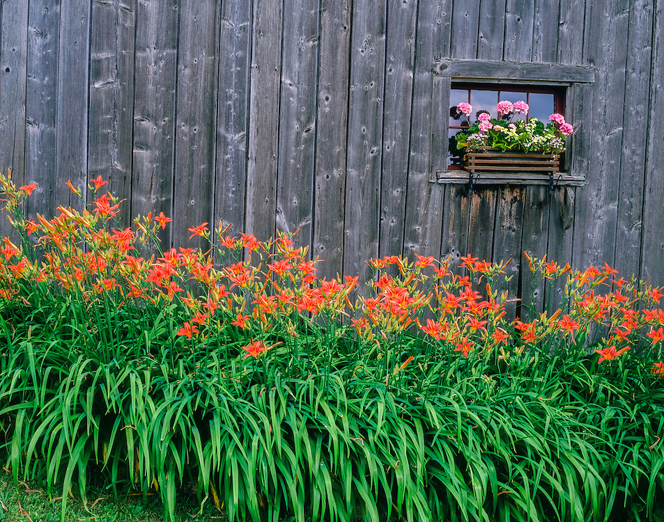 Orange daylilies bloom in front of weathered barn in summer, window with pink geraniums in flowerbox, South Danville, VT