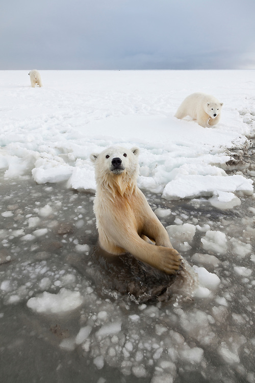 A pair yearling polar bear cubs play at the edge of the ice, while it's mother stands calmly in the snow close by, on the Beaufort Sea coastline, in ANWR, Northern Alaska.