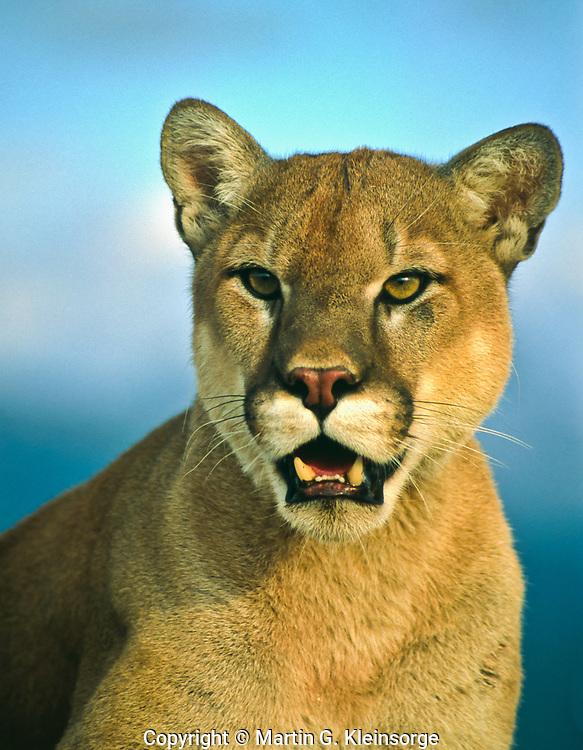 Mountain lion (Felis concolor)  also known as a puma, or cougar.