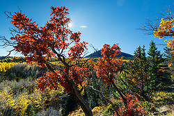 Gambel's Oak Aspens in fall color on Elk Creek below Ash Mountain, Vermejo Park Ranch, New Mexico, USA.