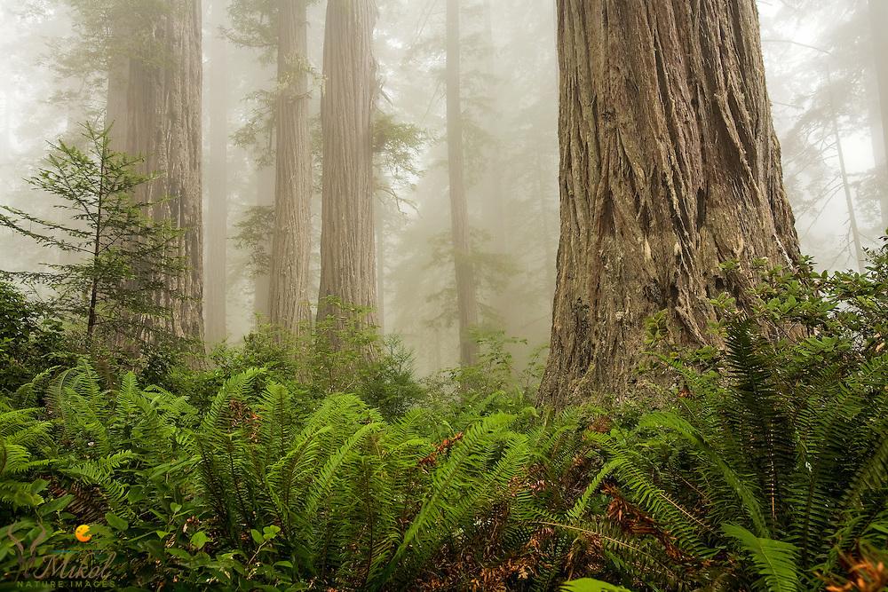 Redwoods trees, Ferns and fog. Lady Bird Johnson Grove