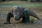 Komodo Dragon (Varanus komodoensis)<br /> Rinca Island<br /> West Nusa Tenggara <br /> Lesser Sunda Islands<br /> Indonesia