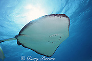 southern stingray, Dasyatis americana, Grand Cayman Island, Cayman Islands, British West Indies ( Caribbean Sea )