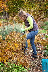 Moving a shrub - hydrangea. - to a new place. Digging up ready to transplant