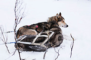 A pair of huskies resting in the snow after pulling a sled through the Finnish forest.