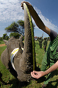 White Rhinoceros (Ceratotherium simum) darted for relocation. With Conservation Solutions Kester Vickery measuring the horn<br /> Private Game Reserve<br /> SOUTH AFRICA<br /> RANGE: Southern & East Africa<br /> ENDANGERED SPECIES
