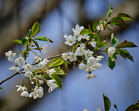 White Pear Tree flowers. Image taken with a Fuji X-T2 camera and 100-400 mm OIS lens (ISO 200, 400 mm, f/6.4, 1/640 sec).