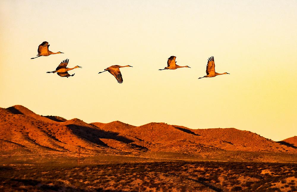 Migratory sandhill cranes arise at dawn in the Bosque del Apache National Wildlife Refuge, San Antonio, New Mexico